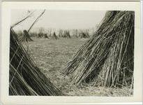 Stacks of hemp stalks in a hemp field