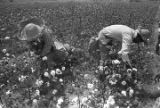 Women picking cotton in the field of Mrs. Minnie B. Guice near Mount Meigs in Montgomery County, Alabama.