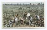Cotton Pickers in the Field