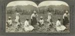 Sugar Cane. Preparing Cane Stocks for Replanting, St. Kitts, B. W. I