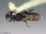 Ophrynopus carinatus Smith, 2002