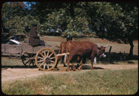 Yoked cattle draw negro's farm wagonRoad near Eutaw, Ala.