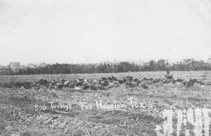 500 Turkeys in Sugar Land