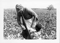 "A Black man and young boy picking cotton. From the image: ""Cotton picking was a family affair."" ""Neighbors of the Lawrences"""