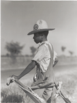 Resting the mules which get too hot when the cotton is high in mid-summer cultivation; King and Anderson Plantation, near Clarksdale, Mississippi Delta, Mississippi, August 1940