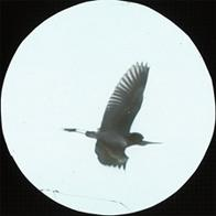 Louisiana Heron [Tricolored Heron], Louisiana; overall