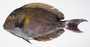Acanthurus xanthopterus