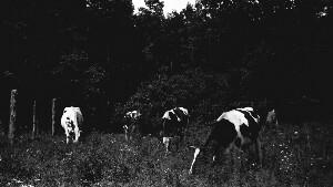 Manassas Industrial School. Dairy herd. Good picture.