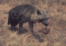 Brown hyena with food in mouth