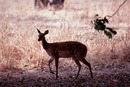 Female bushbuck standing in shadows