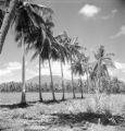 Philippines, peanut field in vicinity of Dumaguete