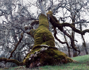"""""""At daylight the miserable man was carried to an oak..."""" from the series Searching for California Hang Trees"""