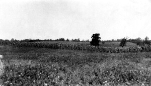 A field with corn.
