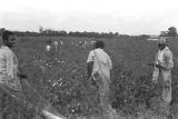 Three women in the cotton field of Mrs. Minnie B. Guice near Mount Meigs in Montgomery County, Alabama.