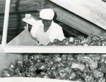Woman working in sweet pepper processing, c. 1970