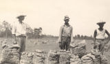 A white man and two African American men standing with sacks of potatoes in a field in Baldwin County, Alabama.