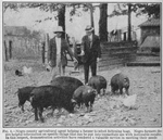 Negro county agricultural agent helping a farmer to select fattening hogs; Negro farmers desire helpful information on specific things that can be put into immediate use with noticeable results; In this respect, demonstration activities have rendered a valuable service in meeting their needs