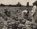 African Americans picking stringless beans planted on a truck farm in Alabama.
