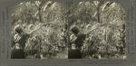 Coffee pickers at work, Planatation Scene in Guadeloupe, French West Indies