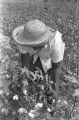 Woman picking cotton in the field of Mrs. Minnie B. Guice near Mount Meigs in Montgomery County, Alabama.