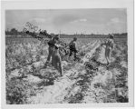 African Americans hoeing cotton on a farm near Cairo, Illinois