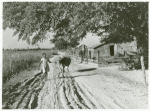 Daughter of Cube Walker, Negro TP Client Belzoni, Miss. Delta, bringing home cow from the fields in the evening, Nov. 1939