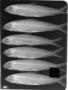 Bivibranchia fowleri