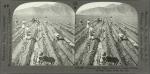 Planting the Sugar Cane in a Large Hacienda near Lima, Peru, So. Am